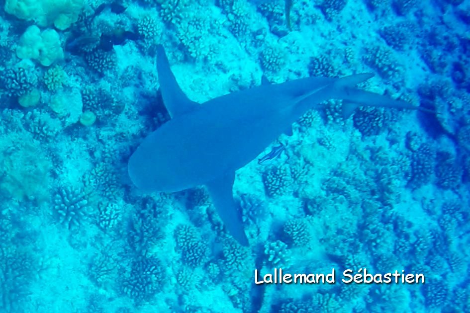 requin-citron2-traitee.jpg